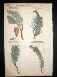 Gerards Herbal 1633 Hand Col Botanical Print. Pine Cone Trees